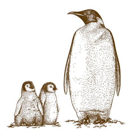 Gravure Illustration antique de manchot royal et deux pingouin oisillon isolé sur fond blanc