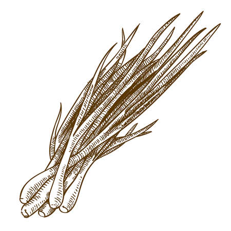 graveren antieke vector illustratie van ui spruiten geïsoleerd op witte achtergrond