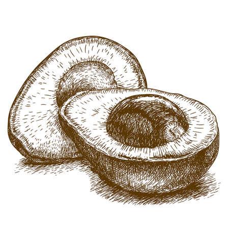vector set of engraving illustration of avocado on white background
