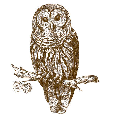 pencil drawing: vector engraving antique illustration of owl on a brench isolated on white background