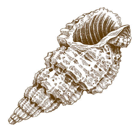 engraving antique illustration of a conch shell isolated on white background