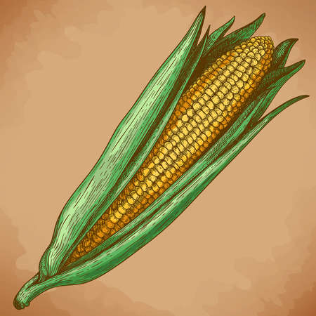 old fashioned vegetables: vector vintage engraving illustration of corn in retro style