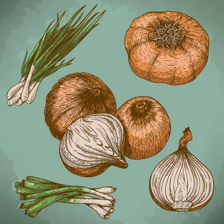 old fashioned vegetables: vector engraving illustration of onions in retro style