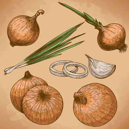 old fashioned vegetables: vector engraving illustration of onion in retro style