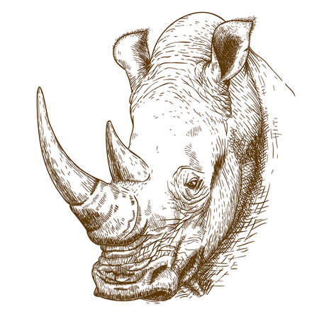 nature one painted: Vector engraving antique illustration of rhinoceros head isolated on white background