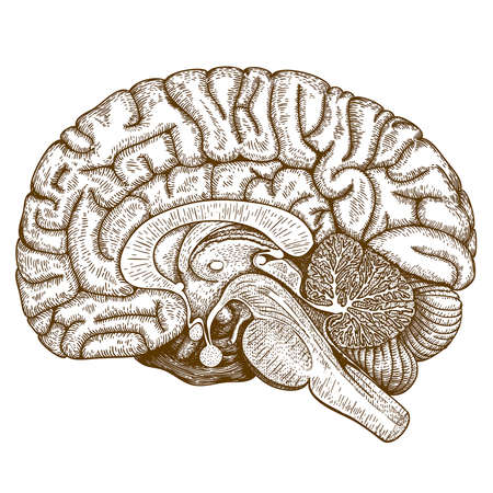 Vector engraving antique illustration of human brain isolated on white background Ilustração