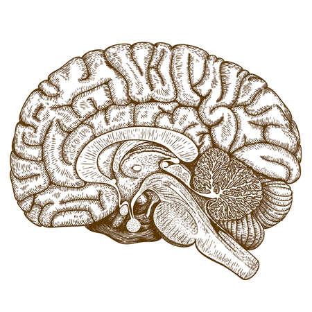 Vector illustration Gravure antique de cerveau humain isolé sur fond blanc