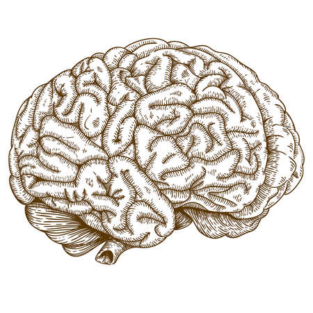brain stem: Vector engraving antique illustration of brain isolated on white background Illustration
