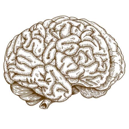 Vector graveren antieke illustratie van de hersenen op een witte achtergrond Stock Illustratie