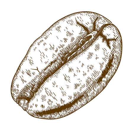 food staple: Vector engraving antique illustration of coffee bean isolated on white background