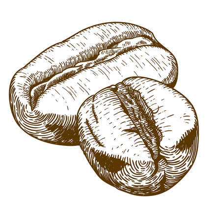Vector engraving antique illustration of two coffee beans isolated on white background Ilustração