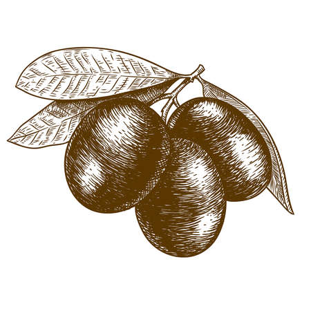 Vector antique engraving woodcut illustration of olive tree branch on white background Çizim