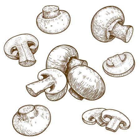 mycology: engraving vector illustration of mushrooms champignons on white background