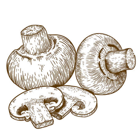 mycology: engraving vector illustration of champignons on white background
