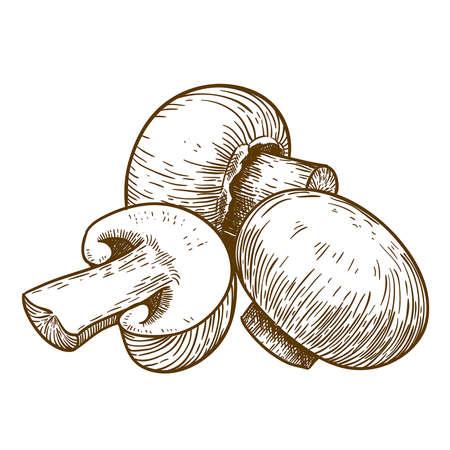 mycology: engraving vector illustration of tree mushrooms champignons on white background Illustration