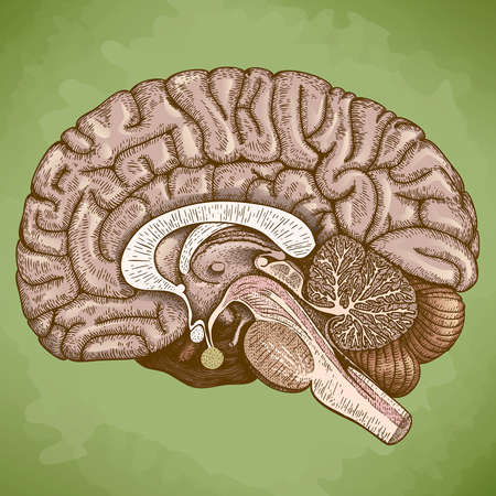 brain stem: Vector engraving antique illustration of human brain in retro style