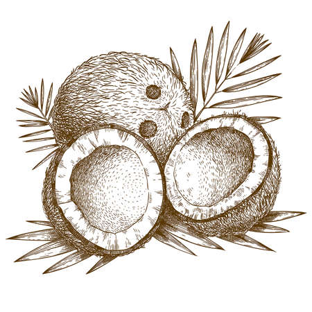 coconut: Vector engraving  illustration of  highly detailed hand drawn coconut and palm leaf