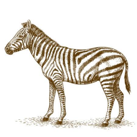 engraving antique vector illustration of zebra isolated on white background