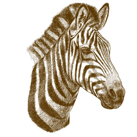 engraving antique vector illustration of zebra head isolated on white background Ilustracja