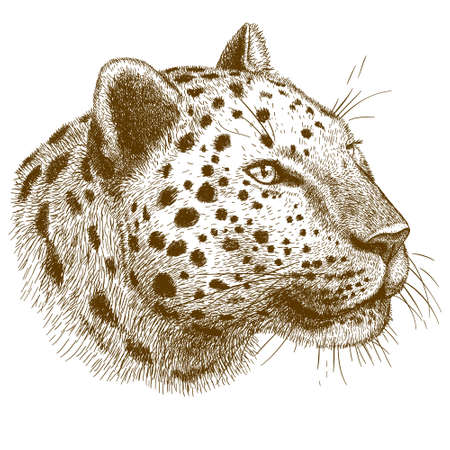 leopard head: engraving antique vector illustration of  leopard head isolated on white background