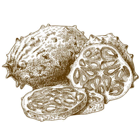 hedged: Vector engraving drawing antique illustration of horned melon and slice isolated on white background