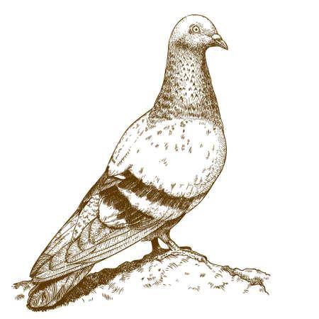 palomas volando: Dibujo vectorial antigua ilustración de grabado de la paloma aislada en el fondo blanco
