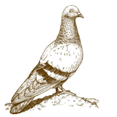 pigeons: Vector engraving drawing antique illustration of dove isolated on white background