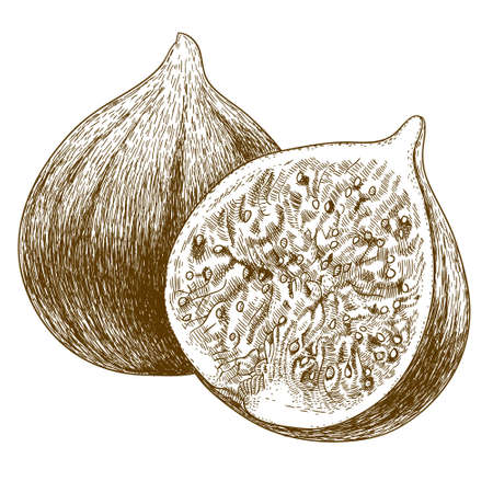 fig: Vector engraving drawing antique illustration of two figs isolated on white background Illustration