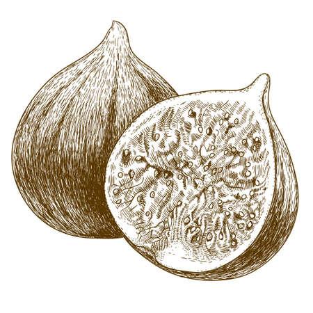 Vector Zeichnung Gravur antike Illustration von zwei Feigen isoliert auf weißem Hintergrund Standard-Bild - 41408186