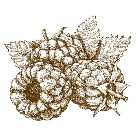 grabado antiguo: Dibujo vectorial antigua ilustraci�n de frambuesa con hojas grabado aislado en fondo blanco