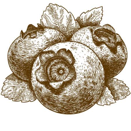 grabado antiguo: Dibujo vectorial antigua ilustraci�n de ar�ndanos con hojas grabado aislado en fondo blanco