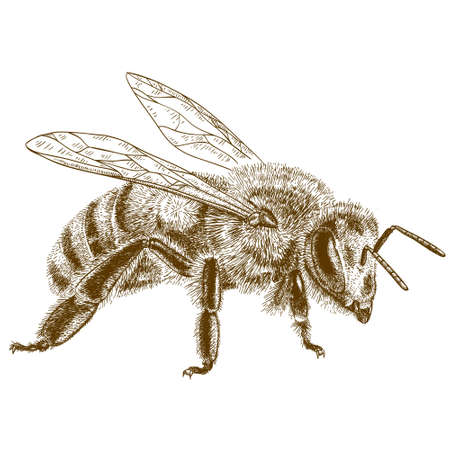 abeja: grabado antigua ilustración de abeja de la miel aislado en el fondo blanco