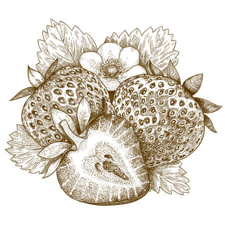 イチゴの孤立した白い背景のアンティーク イラストを彫刻