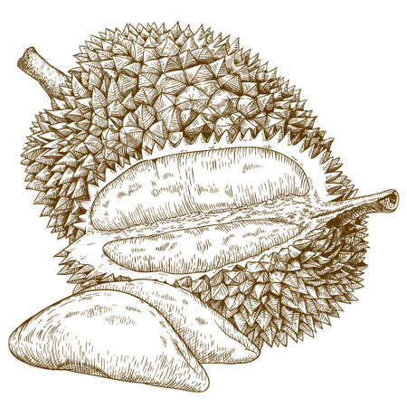 engraving antique illustration of durian fruit isolated on white background