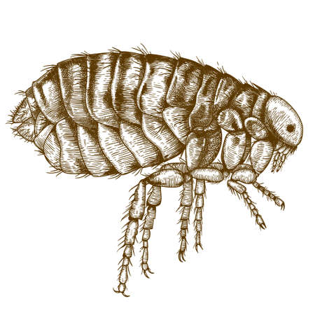pencil drawing: engraving antique illustration of flea isolated on white background