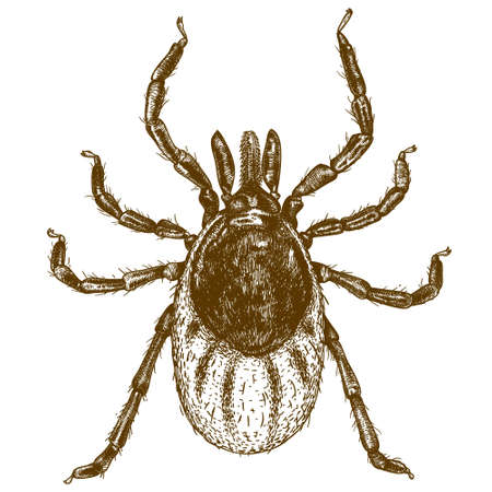 19th century style: Vector engraving  illustration of  highly detailed hand drawn tick isolated on white background Illustration