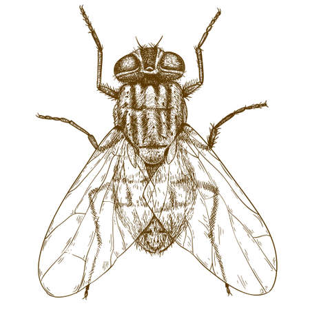 volar: Vector grabado ilustración de alto nivel de detalle mosca dibujado a mano aislado sobre fondo blanco Vectores