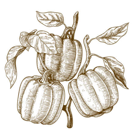 engraved image: Vector engraving  illustration of  highly detailed hand drawn three bell peppers on a branch isolated on white background