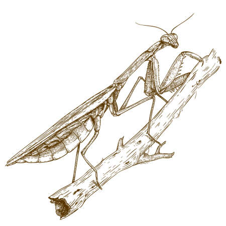 Vector engraving  illustration of  highly detailed hand drawn mantis isolated on white background
