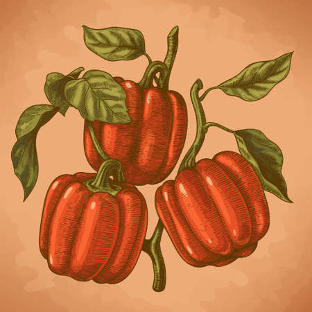 ink drawing: Vector engraving  illustration of  highly detailed hand drawn three bell peppers on a branch in retro style