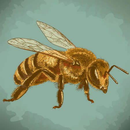 worker bees: Vector engraving antique illustration of  honey bee in retro style Illustration