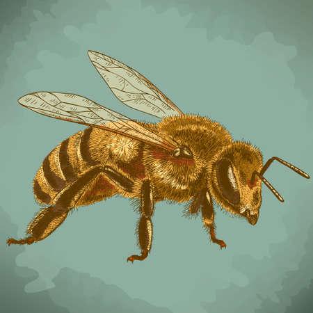 avispa: Vector grabado antigua ilustración de abeja de la miel en el estilo retro