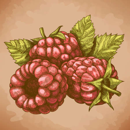 Vector engraving drawing antique illustration of raspberry with leafs in retro style