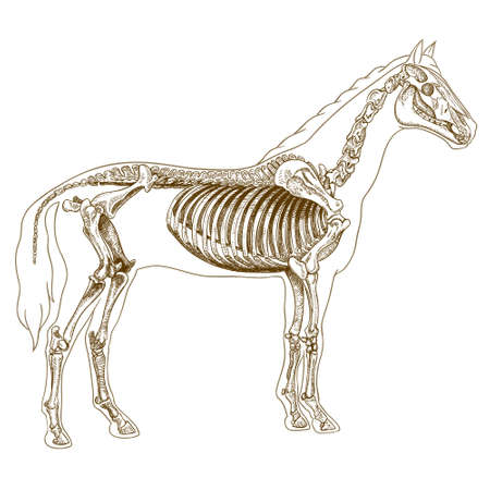 equine: Vector engraving  illustration of  highly detailed hand drawn skeleton of horse isolated on white background