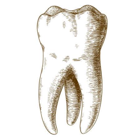tooth: Vector grabado ilustración de la mano muy detallado elaborado diente humano aislado en el fondo blanco