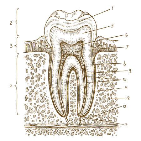 dentures: Vector engraving  illustration of  highly detailed hand drawn human tooth diagram isolated on white background