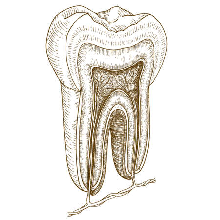 Vector engraving  illustration of  highly detailed hand drawn human tooth structure isolated on white background Çizim