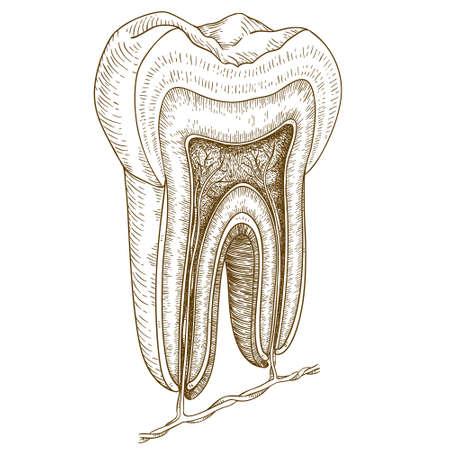Vector graveren illustratie van zeer gedetailleerde hand getrokken menselijke tand structuur op een witte achtergrond