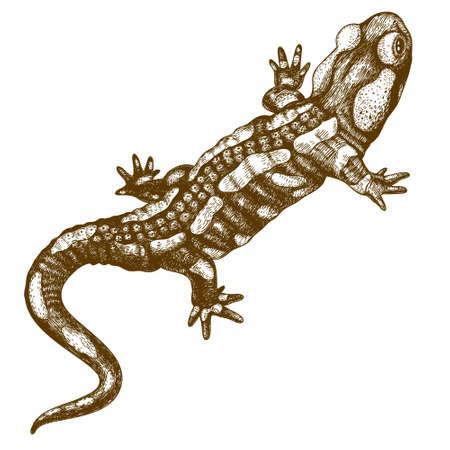 Vector gravure illustratie van zeer gedetailleerde hand getrokken salamander op een witte achtergrond