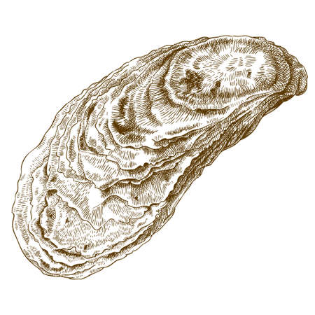 Vector engraving  illustration of  highly detailed hand drawn oyster shell isolated on white background